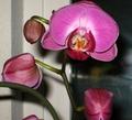 Phalaenopsis800.jpg